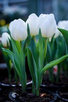 Piękne białe tulipany kwitną w ogrodzie zielony dom