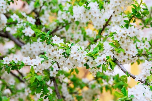 Piękne białe wiosenne delikatne kwiaty kwitną.