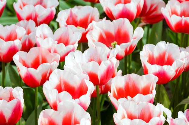 Piękne Biało-czerwone Tulipany Szczegół Wiosna Natura Tło. Premium Zdjęcia