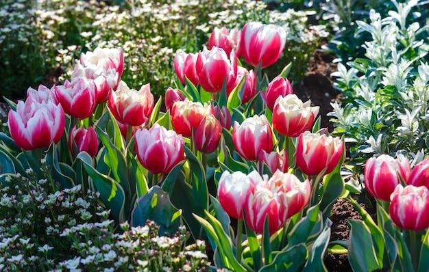 Piękne biało-czerwone tulipany w parku wiosny.