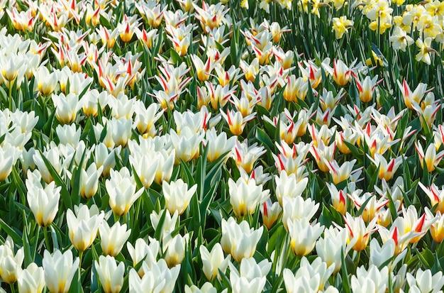 Piękne Biało-czerwono-żółte Tulipany I Tło Wiosna Natura Narcyz. Premium Zdjęcia