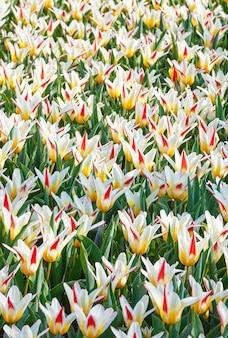 Piękne Biało-czerwono-żółte Tulipany Szczegół Wiosna Natura Tło. Premium Zdjęcia