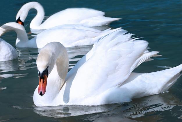 Piękne bliska na łabędzie na jeziorze