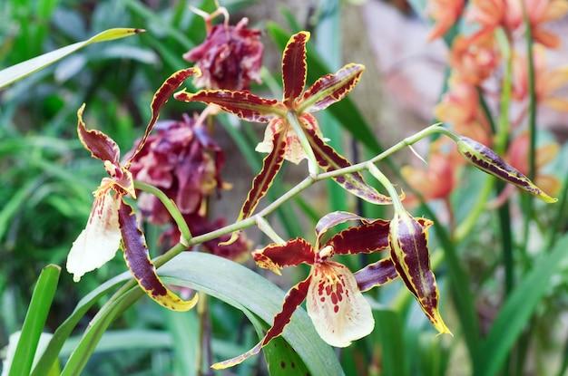 Piękne bordowo-żółte plamiste kwiaty orchidei