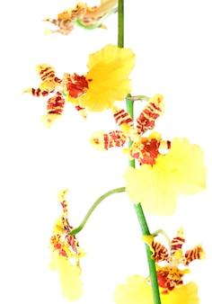 Piękne Bordowo-żółte, Plamiste Skupisko Kwiatów Orchidei Na Białym Tle Premium Zdjęcia