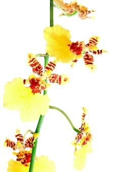 Piękne bordowo-żółte, plamiste skupisko kwiatów orchidei na białym tle