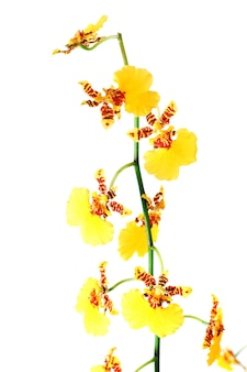 Piękne bordowo-żółte plamiste skupisko kwiatów orchidei na białym tle