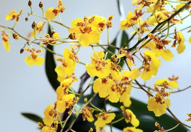 Piękne Bordowo-żółte, Poplamione Skupisko Kwiatów Orchidei (makro) Premium Zdjęcia