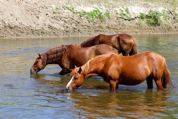 Piękne brązowe konie piją wodę z rzeki
