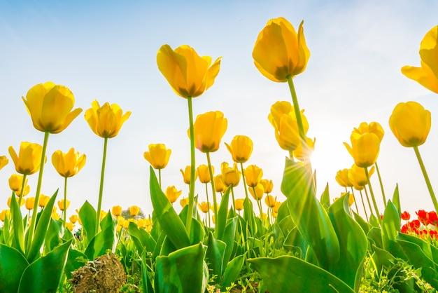 Piękne bukiet tulipanów w sezonie wiosennym.