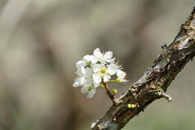 Piękne chińskie orientalne śliwki kwitnące w kolorze białym na wiosnę na tle drzewa.