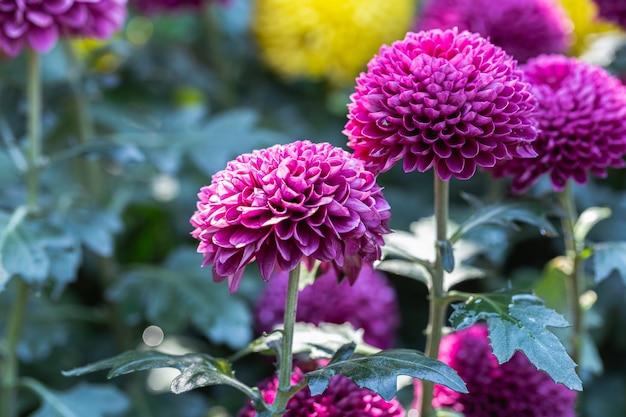 Piękne chryzantemy pomponowe kwiaty kwitnące w ogrodzie w wiosenny dzień