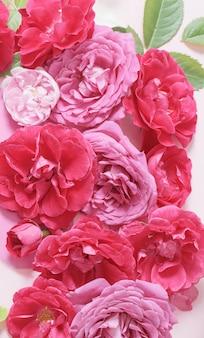 Piękne czerwone i różowe róże w tle