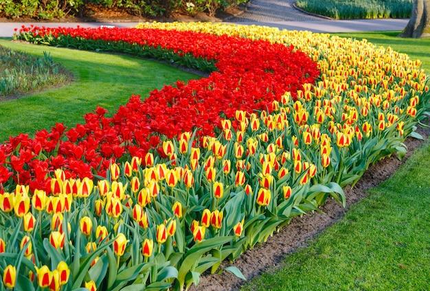 Piękne Czerwone I żółte Tulipany Na Wiosnę. Premium Zdjęcia