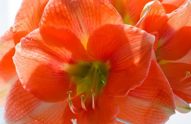 Piękne Czerwone Kwiaty Amarylis Makro Na Wiosnę. Premium Zdjęcia