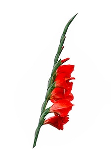 Piękne czerwone kwiaty mieczyk na białym tle