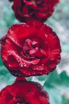 Piękne czerwone kwiaty róży z kroplami po deszczu w okresie letnim