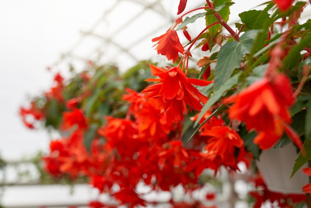Piękne czerwone kwiaty w nowoczesnej dużej szklarni