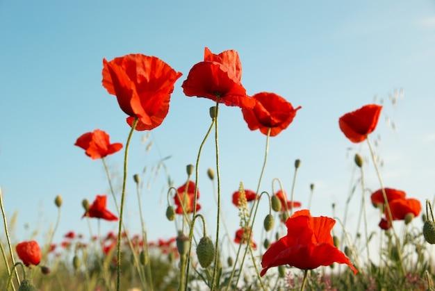 Piękne czerwone maki z niebieskim niebem