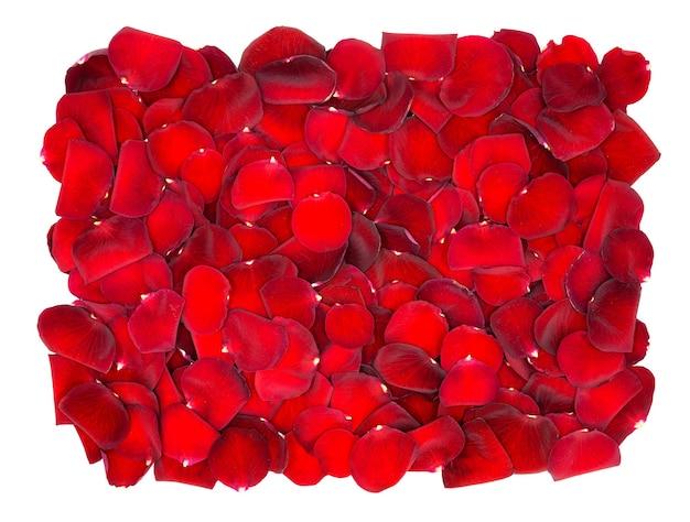 Piękne czerwone płatki róż na białym tle