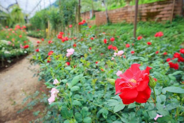 Piękne czerwone róże w ogrodzie kwiatowym