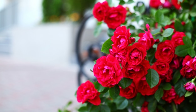 Piękne czerwone róże w ogrodzie
