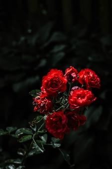 Piękne czerwone róże