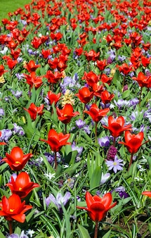 Piękne czerwone tulipany i fioletowe krokusy zbliżenie na wiosnę. tle przyrody.