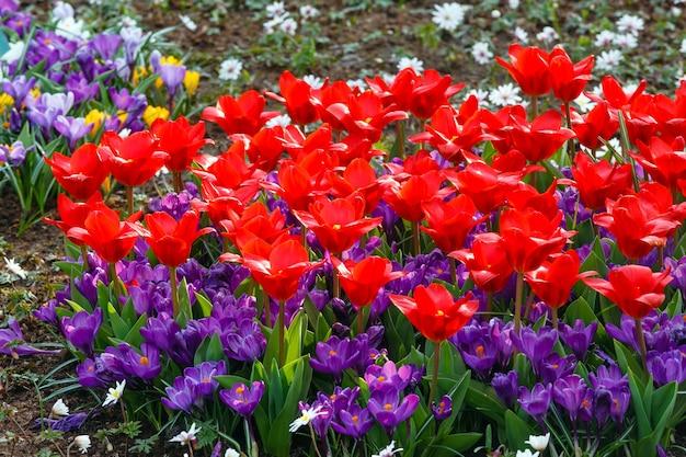 Piękne czerwone tulipany i fioletowe krokusy (zbliżenie) w okresie wiosennym