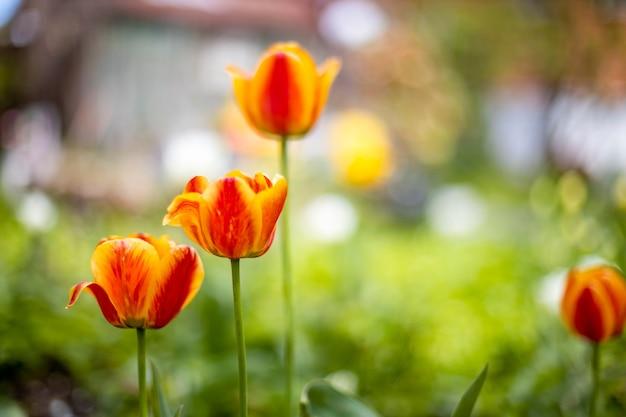 Piękne czerwone tulipany rosną na kwietniku na zewnątrz