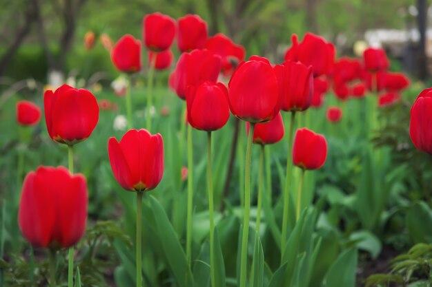 Piękne czerwone tulipany wiosną na ulicy, tło z kwiatami