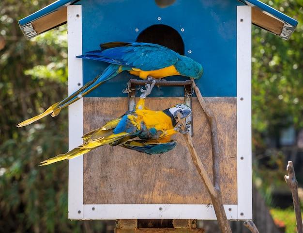Piękne czerwono-zielone ary i niebiesko-żółta ara grająca w zoo, tainan, tajwan, z bliska strzał