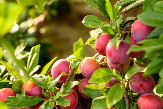 Piękne dojrzałe czerwone owoce śliwki na gałęzi drzewa