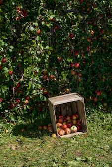 Piękne Dojrzałe Jabłka Gotowe Do Zbioru Premium Zdjęcia