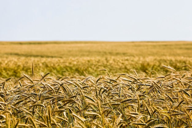 Piękne dojrzałe pole pszenicy
