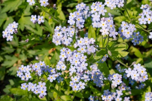 Piękne, drobne, jasnoniebieskie i białe kwiaty polne
