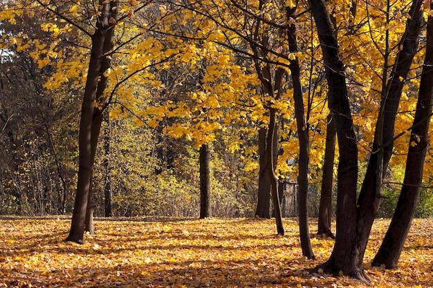 Piękne drzewa liściaste w okresie jesiennym podczas opadania liści, zmiana natury ma charakter sezonowy