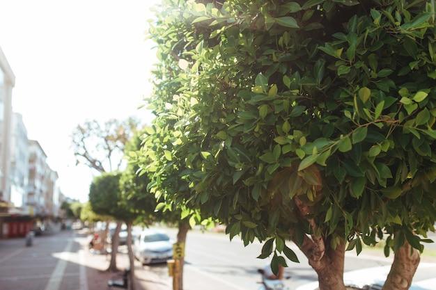 Piękne drzewa na ulicach turcji