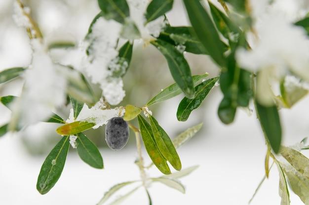 Piękne drzewa oliwne w gaju oliwnym na śniegu, krajobraz apulii po śniegu, niezwykły
