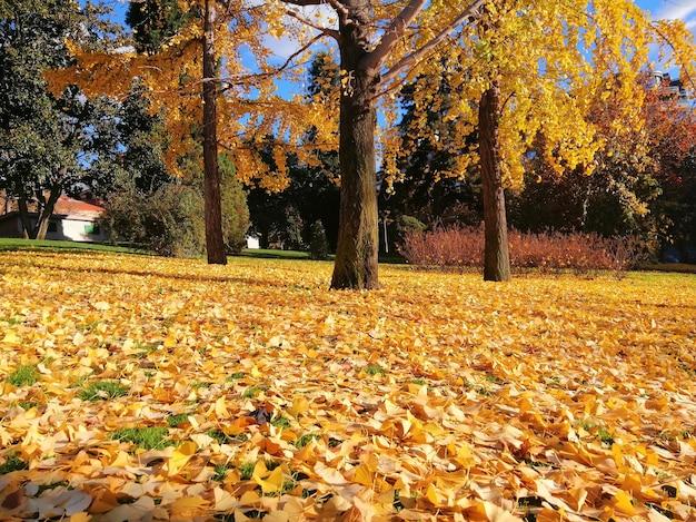 Piękne drzewa z żółtymi liśćmi jesienią w madrycie, hiszpania