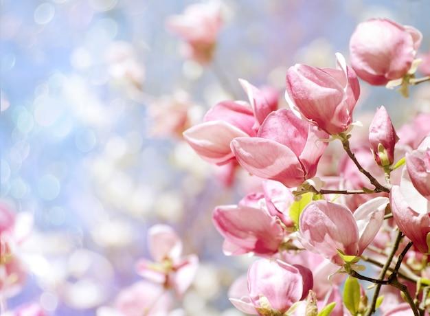Piękne drzewo magnolii kwitnie na wiosnę.