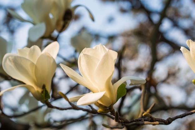 Piękne drzewo magnolii kwitnie wiosną. jentle biała magnolia kobus (cobus) kwiat przed zachodem słońca. romantyczny kwiatowy tło.