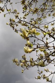 Piękne drzewo magnolii w ogrodzie w ciągu dnia