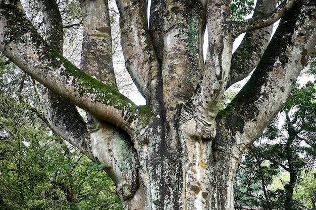 Piękne drzewo w ogrodzie botanicznym króla peradeniya