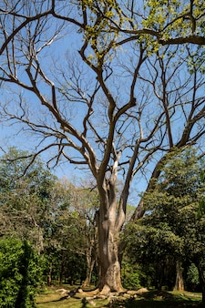 Piękne drzewo w tropikalnym lesie na sri lance