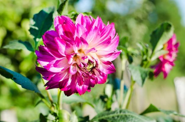 Piękne, duże, różowe dalie kwitnące w ogrodzie