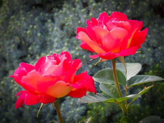 Piękne dwie czerwone róże w ogrodzie w słoneczny dzień idealne na kartki z życzeniami w tle