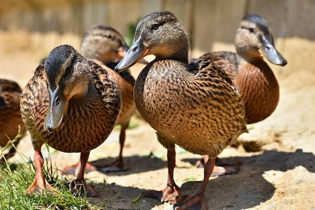 Piękne dzikie kaczki przy stawem. przyroda w słoneczny letni dzień. młody ptak wodny.