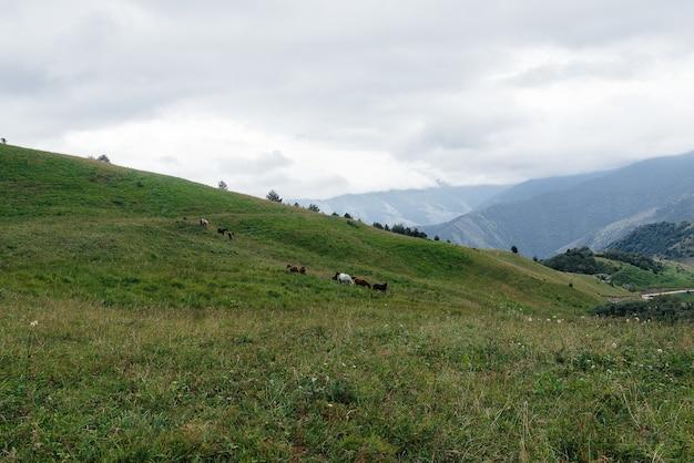 Piękne dzikie konie pasą się na zielonych pastwiskach wysokogórskich.