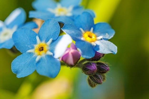 Piękne dzikie niezapominajki myosotis kwitną wiosną